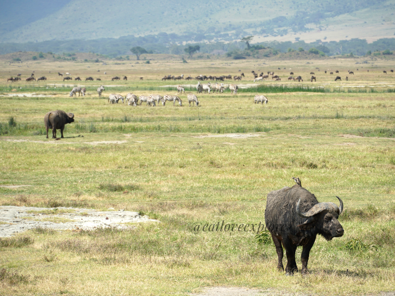 cape buffalo ngorongoro crater