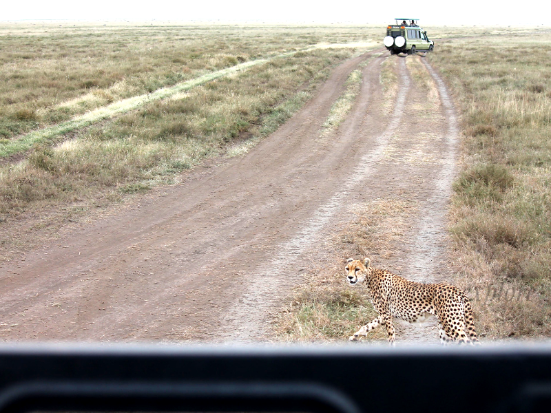 cheetah serengeti