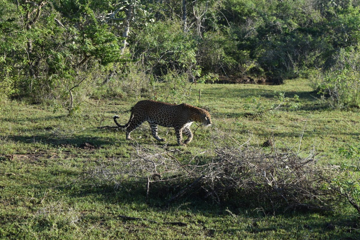Best things to do in Sri Lanka visit Yala National Park to see leaopards